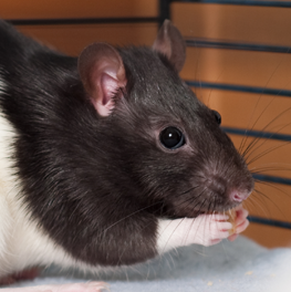Pet rat maintaining a healthy diet by eating seeds inside of its cage