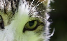 The intense gaze of a cat, free from any feline diseases