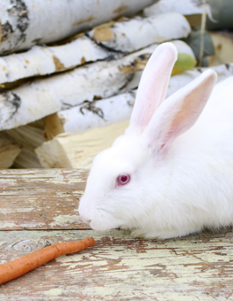A white pet rabbit pausing on a table before an orange carrot