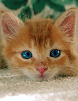 Small orange kitten with deep blue eyes in search of a foster home