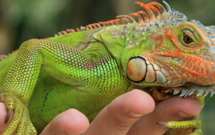 A pet reptile iguana being handled gently by its owner