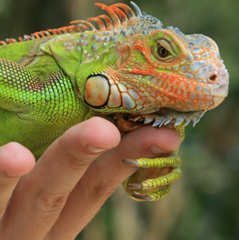 Pet reptile iguana relaxing on the hand of its owner