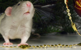 Your pet mouse may want to hide near your Christmas decorations