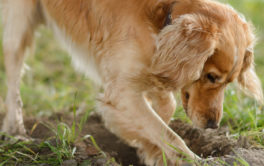 With basic training, you can stop your dog from digging holes