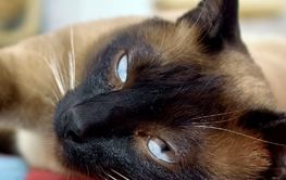 A siamese cat resting indoors after being brushed