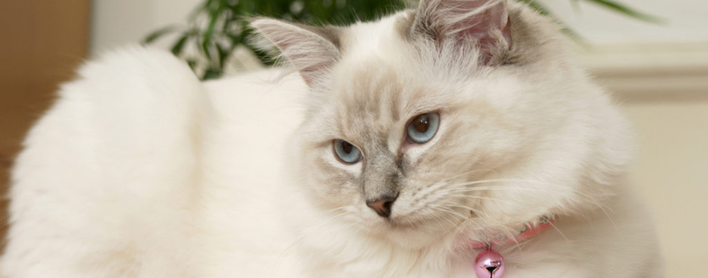 A white cat with a thick coat that requires regular grooming