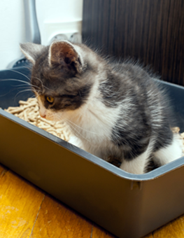 Small kitten training with new litterbox for the first time