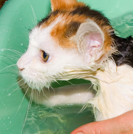 A wet cat being groomed and washed to prevent against hairballs