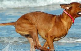 During the summer, your dog may enjoy running along the beach