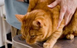 Owner bringing their cat to the vet's office for intestinal parasites