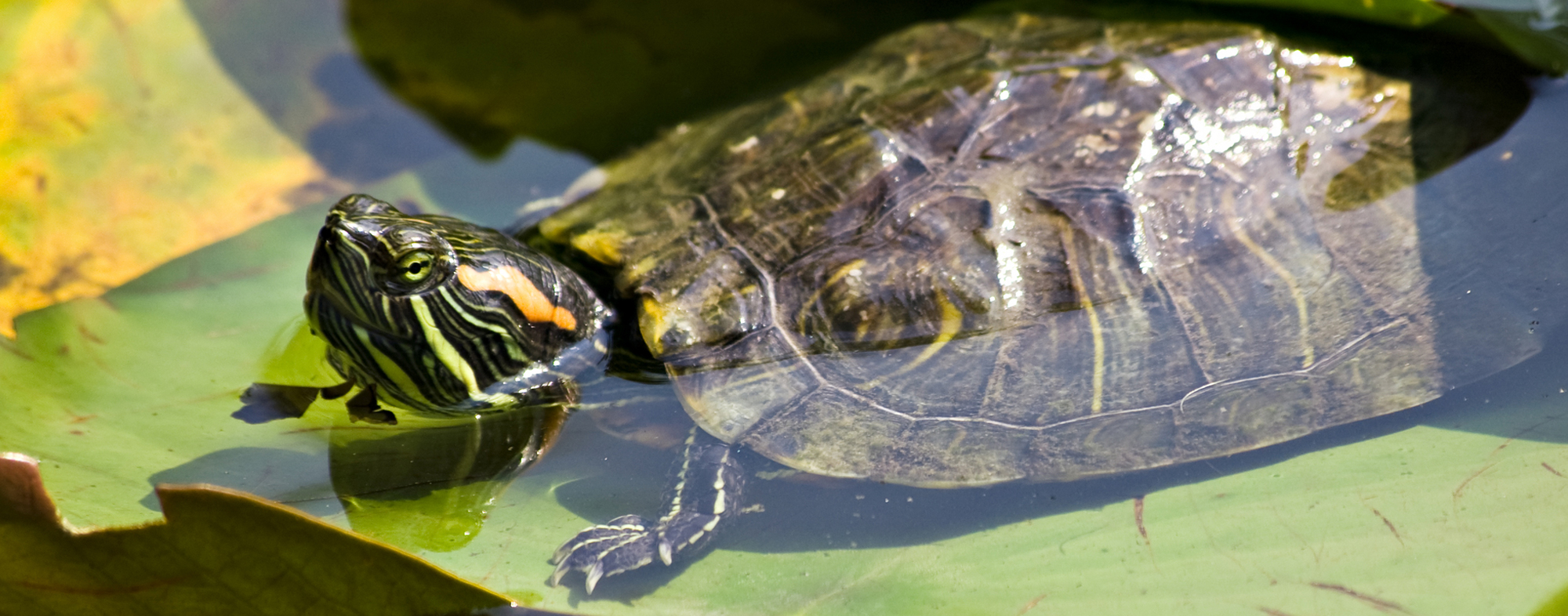 Pet aquatic turtle basking in the sunlight to absorb vitamin D3