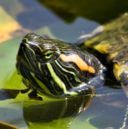Pet aquatic turtle poking its head of the water
