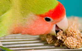An excited pet parrot licking a bunch of berries with its beak
