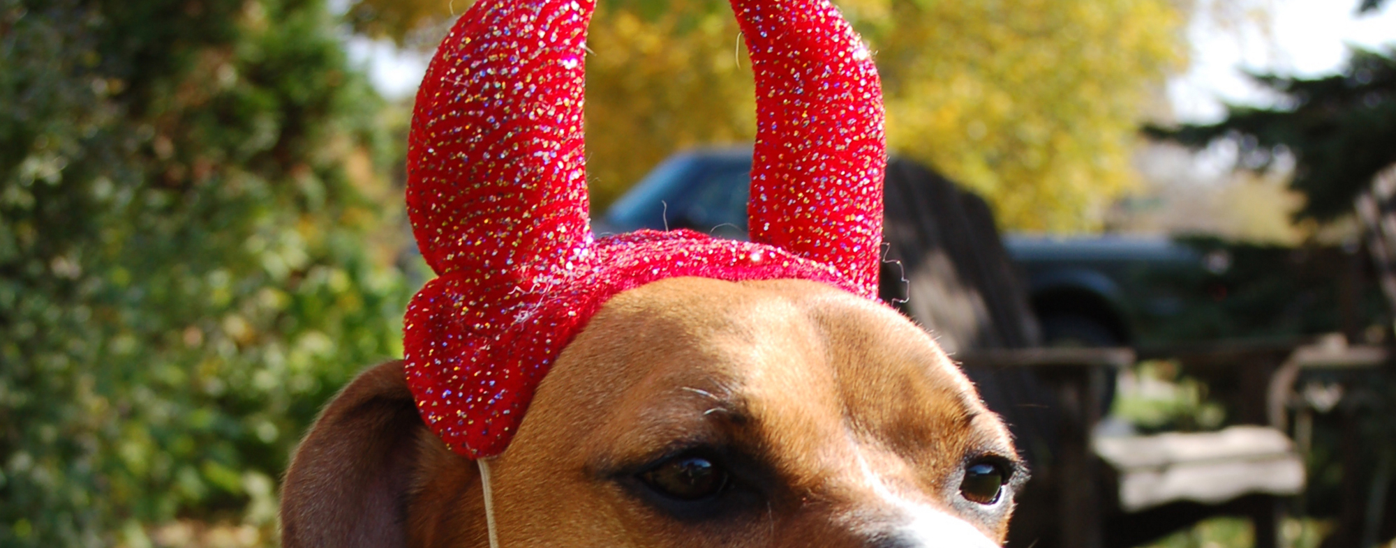 Horns of consecration upon a dog's head, for a halloween costume
