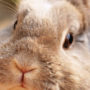 Pet rabbit staring calmly and intently ahead, outside on Rabbit Day