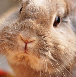 A pet bunny who receives extra care on Rabbit Day