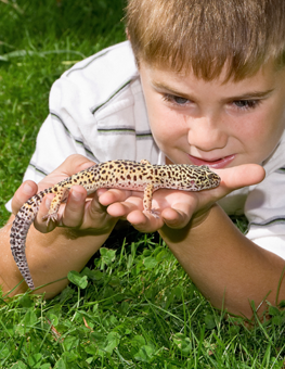 Properly handling a pet reptile, child gazes with curiousity