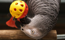 Perched on a branch, pet bird with grey plummage pokes a toy ball