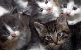 Cluster of young kittens in hay being trained to use a litter box