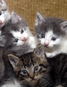 A trio of small kittens clustering together before using a litter box