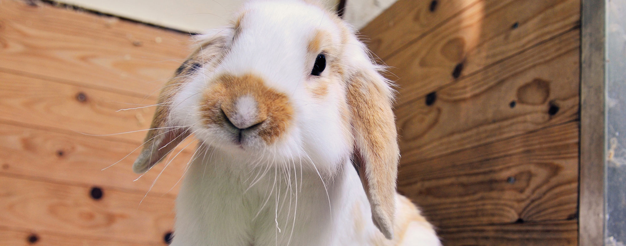 A pet rabbit inside a cage home designed for small animals