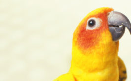 Candycorn feathered pet parrot with a good diet and hygiene regiment