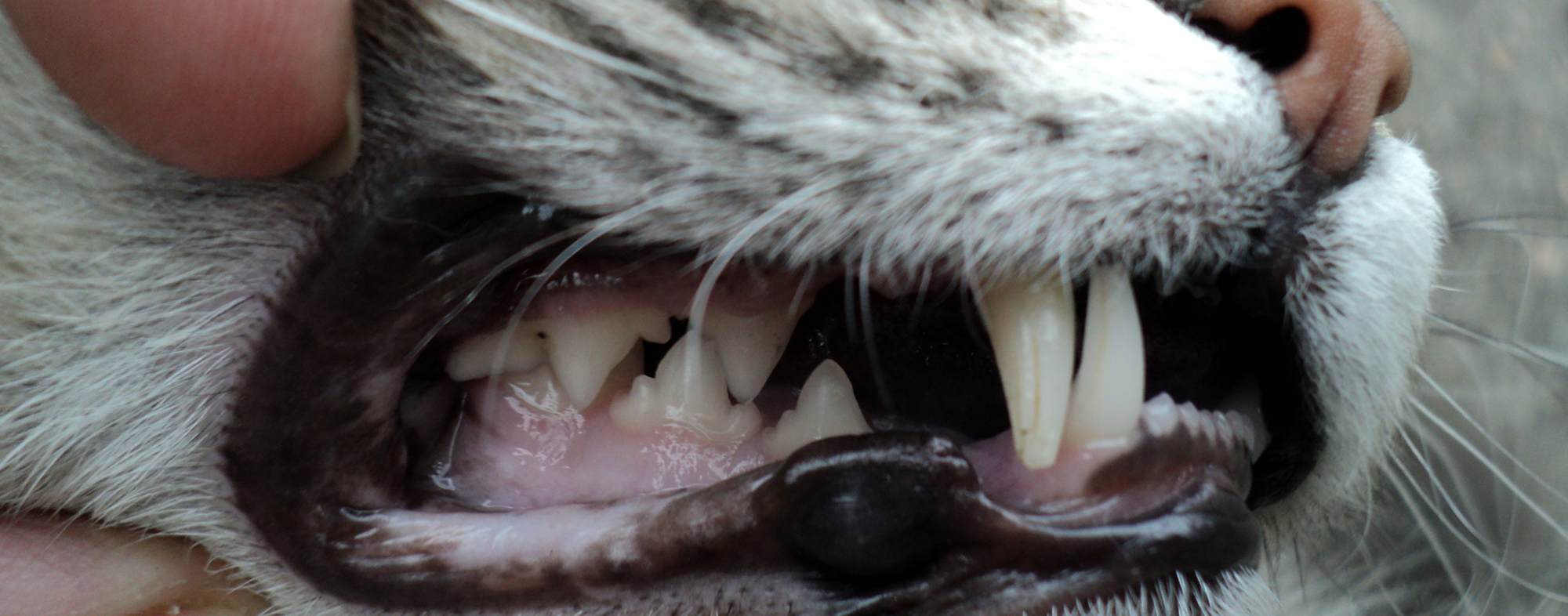 Pet cat with good oral hygiene and a mouth full of white teeth