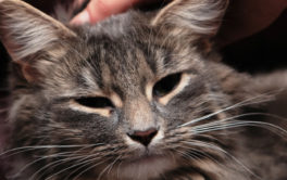 Adult cat with dark shades of gray and tan, being pet in appreciation
