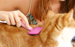 Young girl using brushing her short haired orange pet cat