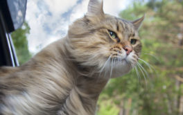 Cat traveling with owners, sticking her head of the car window