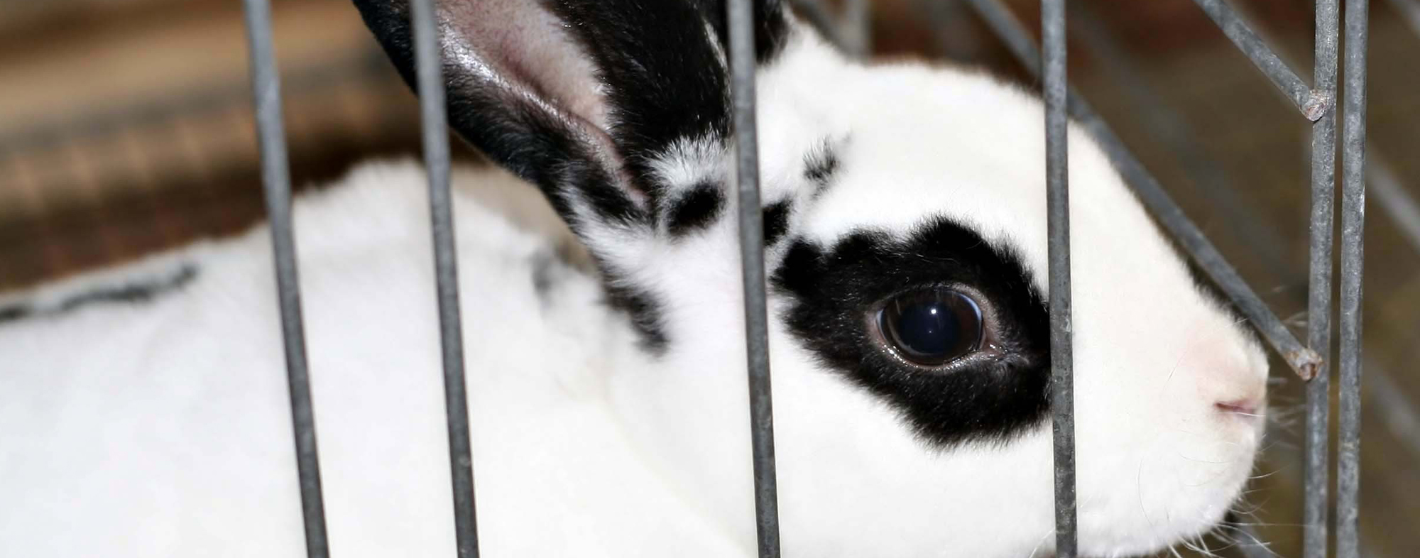 White pet rabbit with black fur around eyes, trying to escape his cage