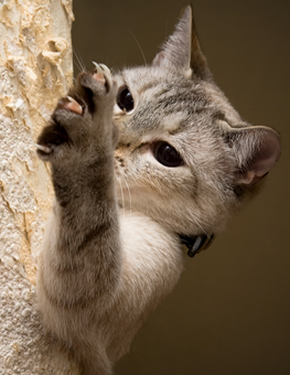 Light haired cat climbing up tree, aggressively extending his claws