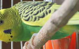 A yellow-green feathered pet bird with his cage in the path of sunlight