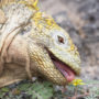 Corncob colored prehistoric pet lizard licking a yellow dandelion