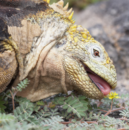 Sticking its tongue out, a yellow horned pet reptile tastes a dandelion