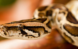 Your pet snake may be wiser than you think—observing your behavior during the holidays