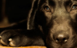Recognize dog separation anxiety in how they bark and pace