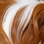 An excessively hairy pet guinea pig who could use a grooming
