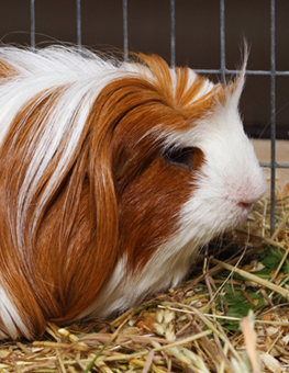 White-orange pet guinea pig resting amidst the hay inside his cage