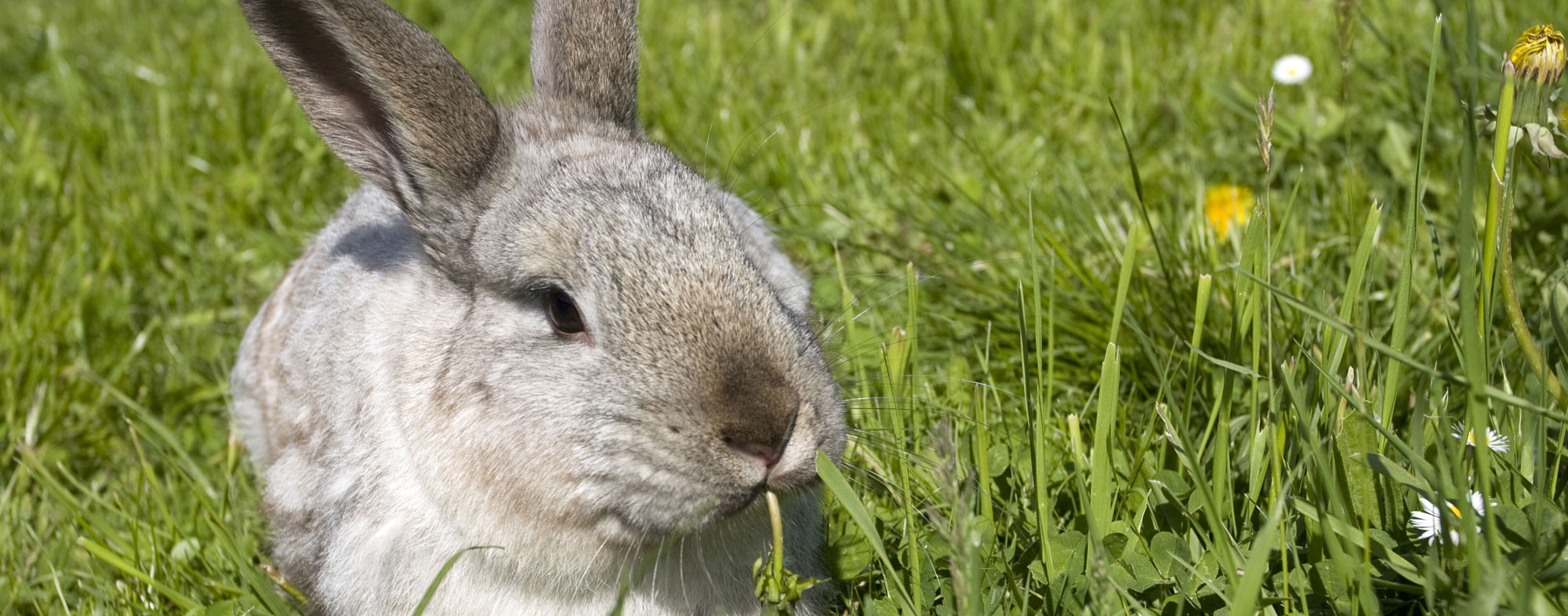 A pet rabbit reclining outside in the grass, chewing on weeds