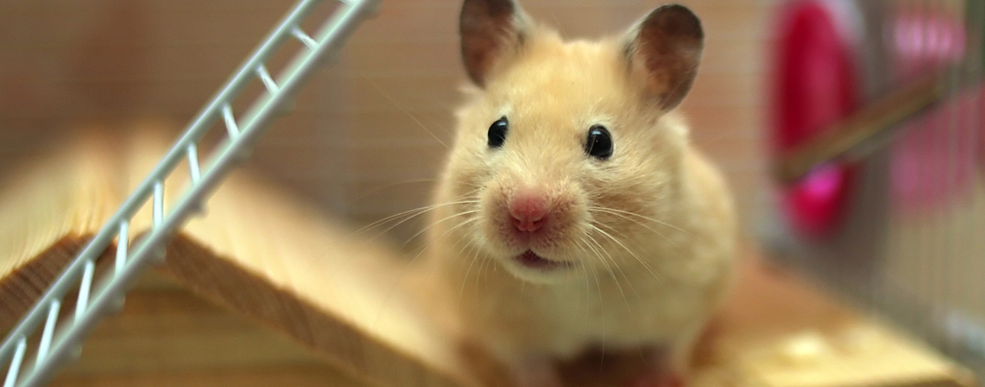 Cute pet mouse peering inquisitively from inside his cage