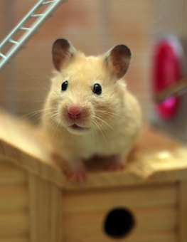 Seated on a wooden box inside his cage, pet mouse looks up curiously