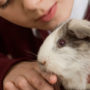 White-brown haired pet guinea pig nibbling on owner's finger