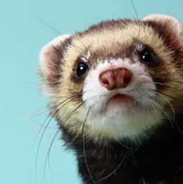 Unlike other small animals, a ferret does require daily grooming
