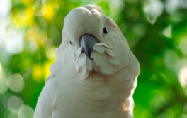 A puffy white feathered pet bird, perched outside in the woods