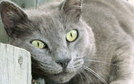 Green eyed cat rubbing her head into a wooden post, marking territory
