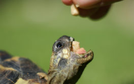 A small turtle with their mouth open in anticipation of a vegetable treat
