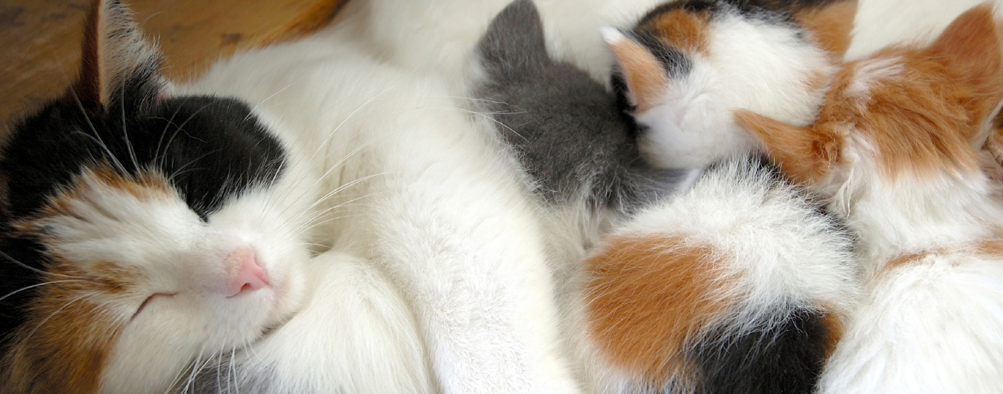 Reclining on her side, mother cat allows her newborn kittens to nurse