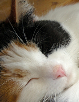 Cat sleeping peacefully after undergoing a spaying procedure at the vet