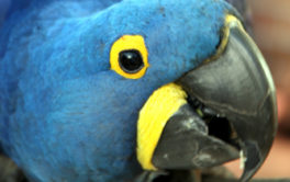 A blue feathered pet parrot, leaning in toward owner, during training